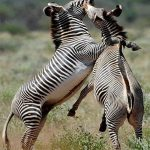 Samburu Fighting