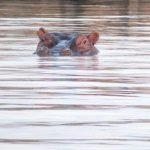 Lake Baringo hippo